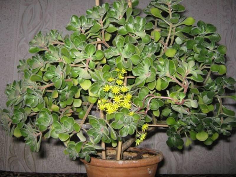 Дерево счастья цветок комнатный фото
