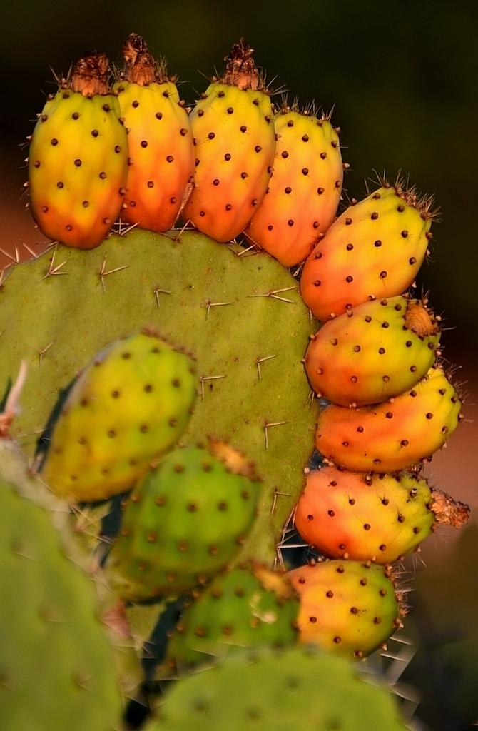 опунция картинки фрукт вид кроны отдаленно
