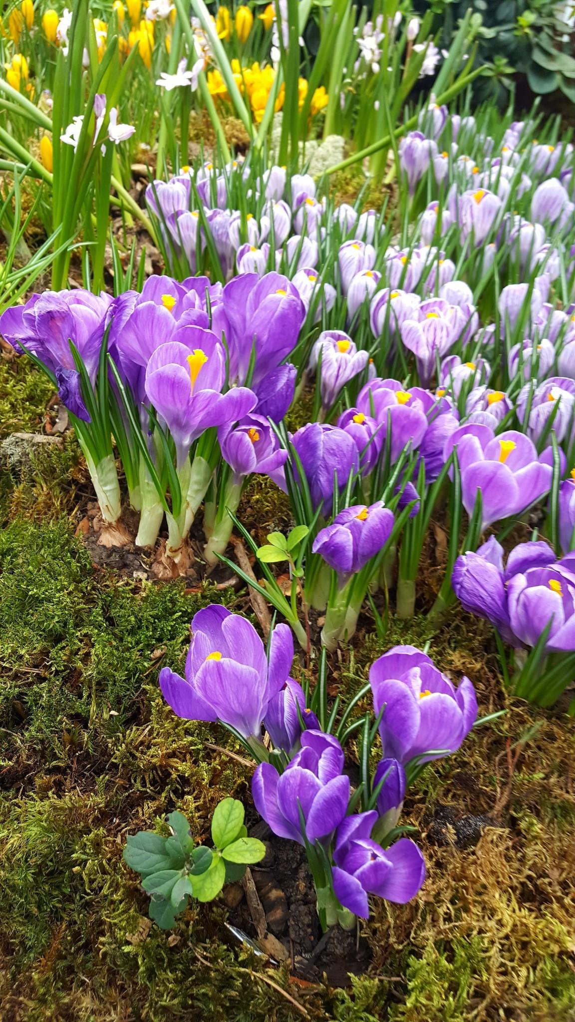 пора цветения крокусов фотогалерея островок